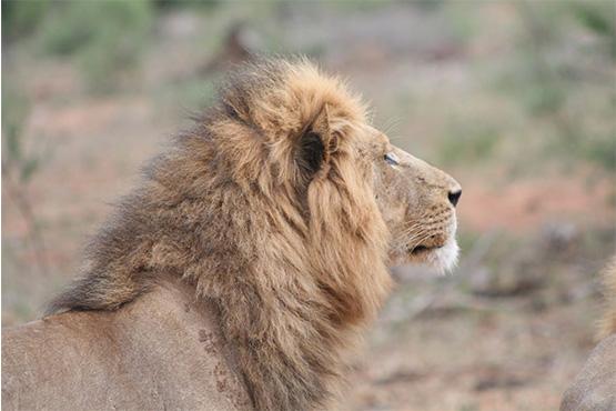 Bush1_Lion