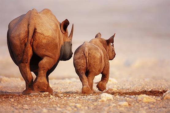 Namibia3_Etosha Rhino